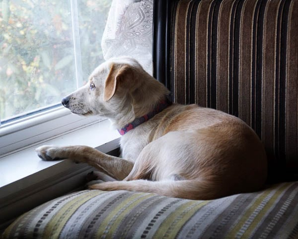 sad-dog-looking-out-window